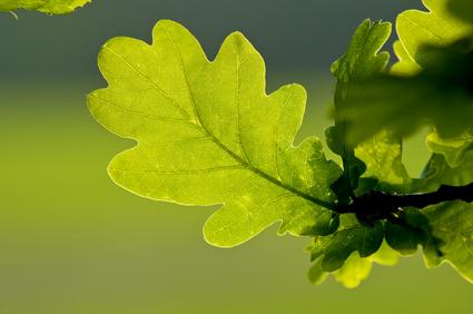 Oak Leaves © russell witherington - Fotolia.com