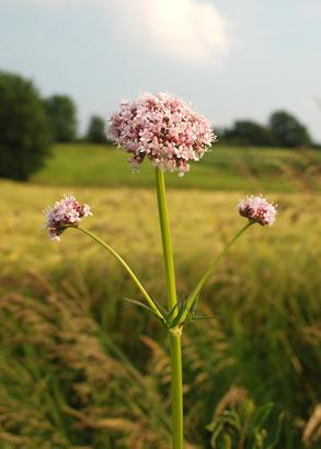 Valeriana officinalis, Baldrianpflanze auf einem Feld