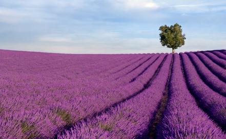 Lavendelfeld in der Haute Provenve