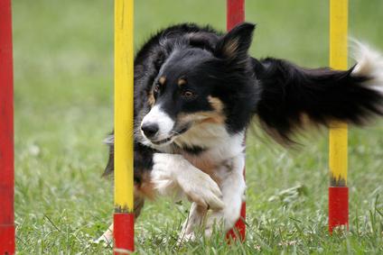 hund beim agility