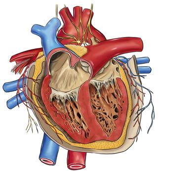 Zeichnung eines menschlichen Herzes
