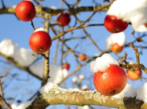 Winter Äpfel